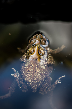 Toad is mixing in water. Stok Fotoğraf