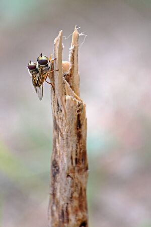 mating: Two Hoverflies mating