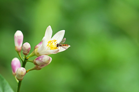 nectar: Hoverfly eating nectar from flower