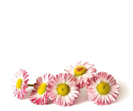 daisys: Five daisys isolated on a white background