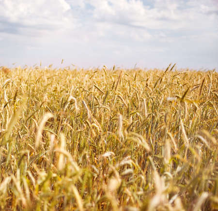Yellow ripe wheat against blue sky. photo