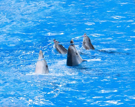 Four nice performing dolphins playing with hoops in blue water photo
