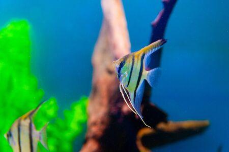 aquarian: Colorful fish in aquarium saltwater world  Stock Photo
