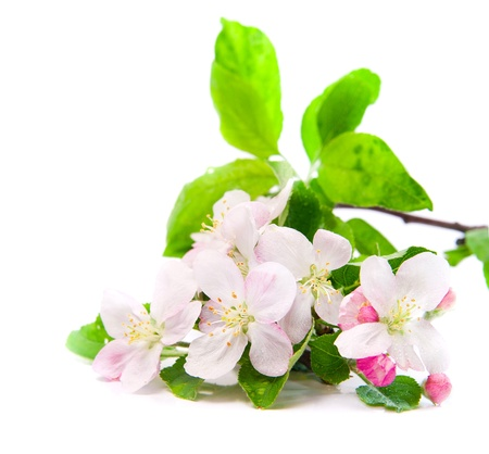 apple blossom: closeup of apple blossoms over white Stock Photo
