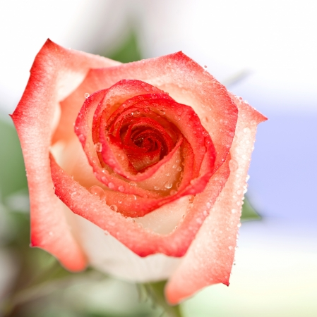 Pink rose on a soft focus background photo