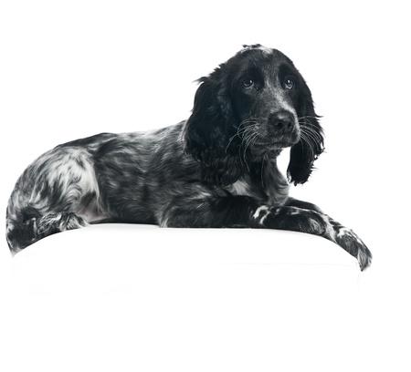perro de caza: Cocker Spaniel cachorro de perro sobre fondo blanco