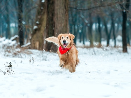Young golden retriever run at the snow in winter park photo