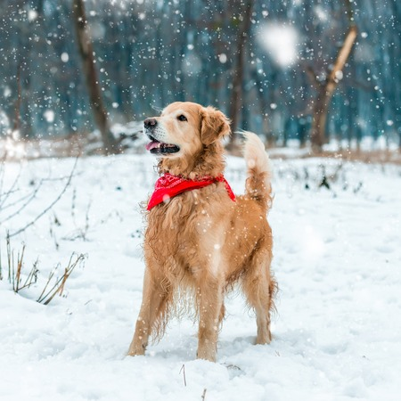 golden retriever walk at the snow in winter park photo