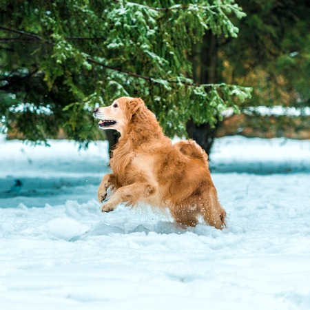 Young golden retriever walk at the snow in winter park photo