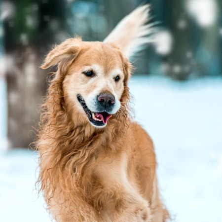 Young golden retriever walk at the snow in winter park  Close-up photo