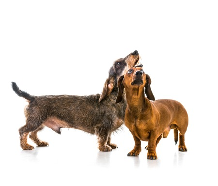two dachshund dogs on white background photo