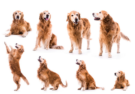 photo collage golden retriever isolated on white background