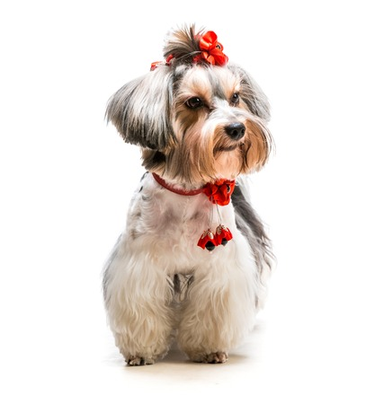 hair bow: lovely male of the Yorkshire Terrier on white background