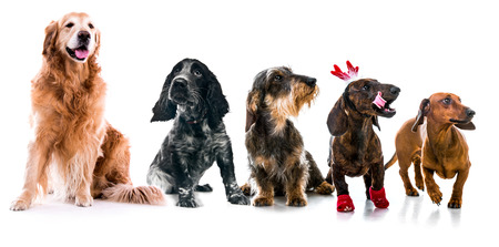 Set photos of dogs different breeds  Isolated on white background photo