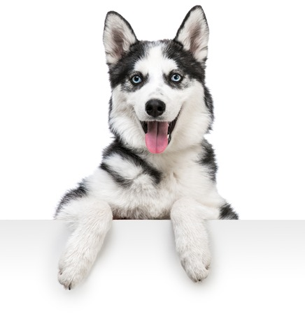 Happy husky dog portrait above white banner  isolated on white background
