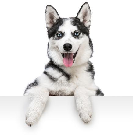 Happy husky dog portrait above white banner  isolated on white background