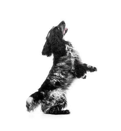 spaniel: Cocker Spaniel puppy dog jump on white background Stock Photo