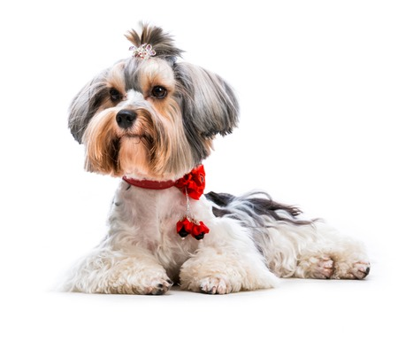Young lovely male of the Yorkshire Terrier isolated on white background photo
