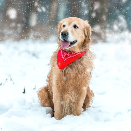 Young golden retriever sitting at the snow in winter park photo