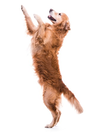 Cute dog jumping - isolated over a white backgorund photo