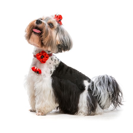 Lovely male of the Yorkshire Terrier on white photo