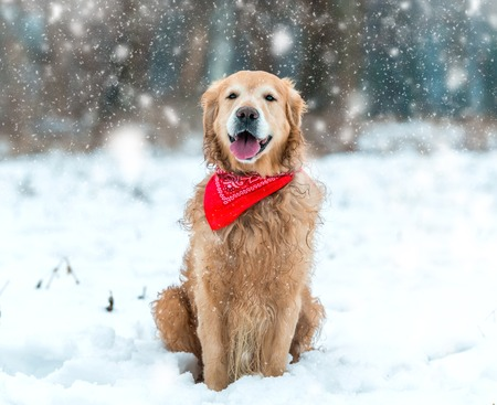 Young golden retriever sitting at the snow
