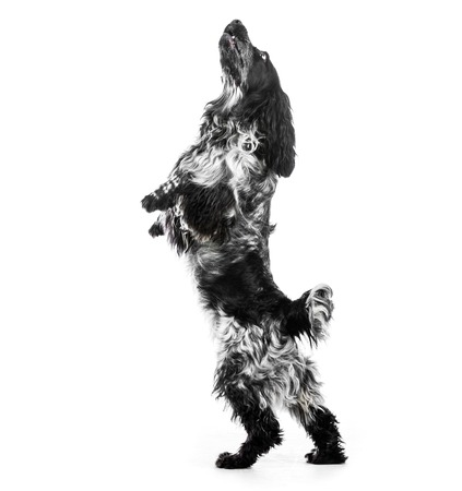 english cocker spaniel: Cocker Spaniel puppy dog jump. Isolated on a white background Stock Photo