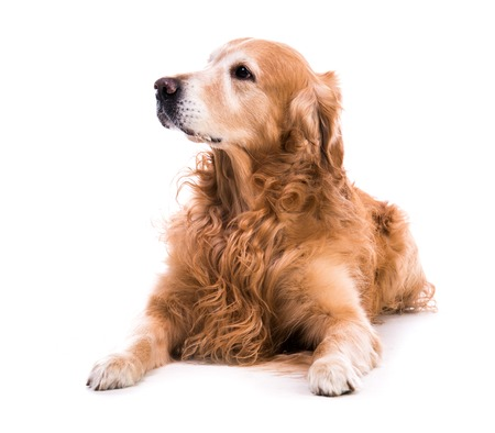 laying down: golden retriever dog laying down over white background