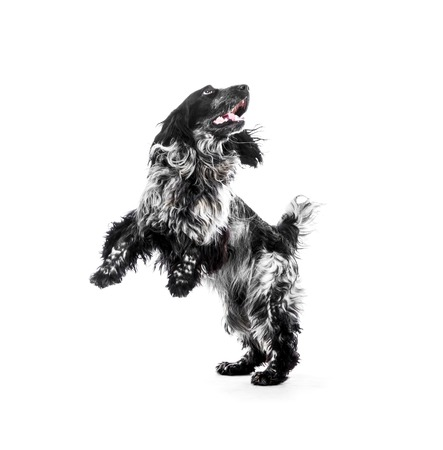 hunting cocker spaniel: Cocker Spaniel puppy dog jump. Isolated background