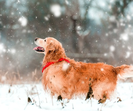 friendly golden retriever walk at the snow in winter park