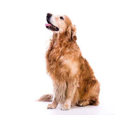 A golden retriever dog laying down over white background Foto de archivo