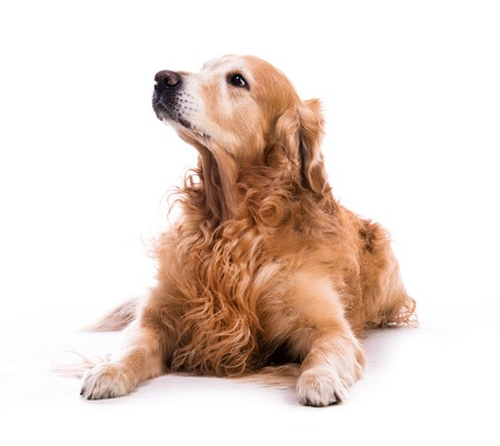 laying down: A golden retriever dog laying down over white background Stock Photo