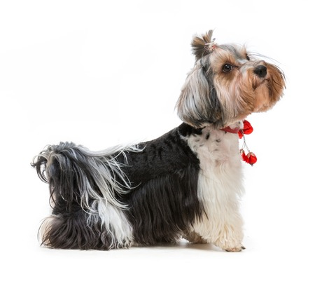 stay beautiful: Young lovely male of the Yorkshire Terrier isolated on white background