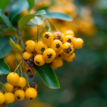 autumnn: close-up photo of colorful autumnn rowan berries