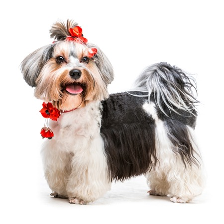 Young lovely male of the Yorkshire Terrier on white background photo