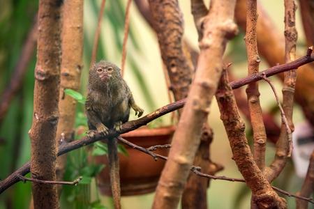 marmoset: Dwarf Monkey talapoyn on the branches of a tree