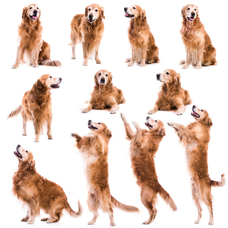 photo collage of Retriever  on a white background