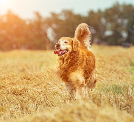 retriever: Golden Retriever in the straw in rural areas in summer