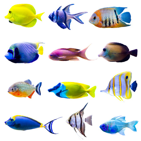 marine aquarium: Tropical fish collection isolated on white background