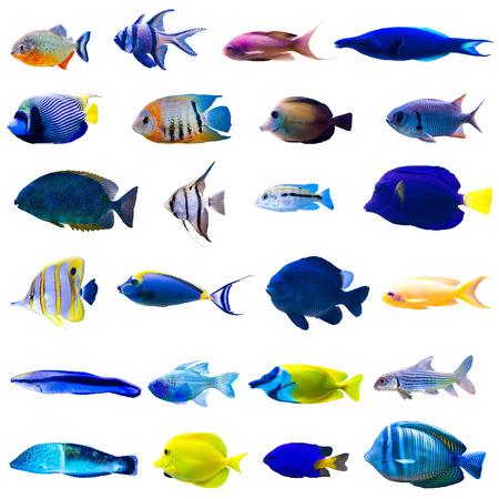 arrecifes: Colección de peces tropicales aisladas sobre fondo blanco