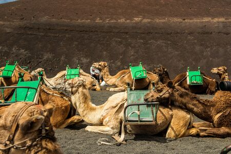 desert island: Caravan of camels in the desert on Lanzarote in the Canary Islands. Spain
