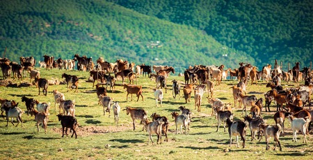land animals: Herd of Goats Grazing in the Mountains in Spain Stock Photo