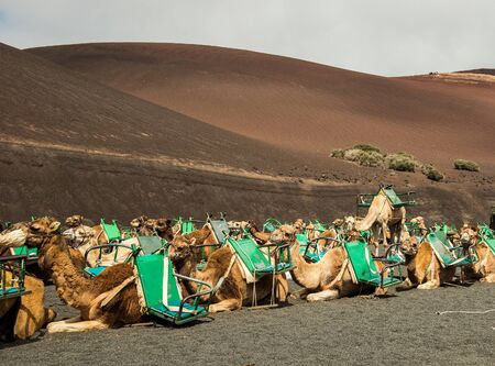 saddle camel: Caravan of camels in the desert on Lanzarote in the Canary Islands. Spain