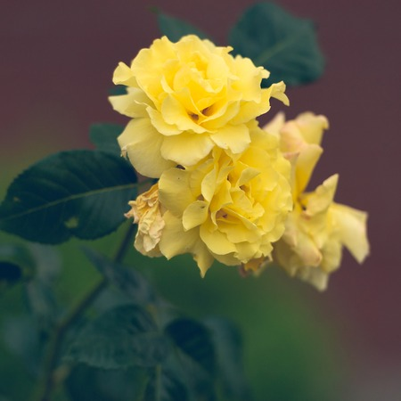 yellow roses: yellow roses in the garden. soft focus