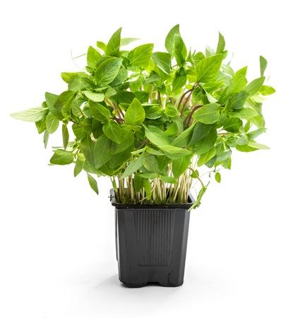 albahaca: planta de albahaca thai aislado en blanco