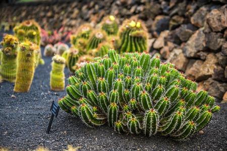 cactus botany: View of cactus garden, jardin de cactus in Guatiza, Lanzarote, Canary Islands, Spain