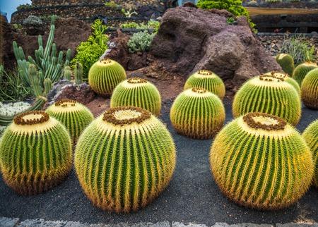 manrique: View of cactus garden, jardin de cactus in Guatiza, Lanzarote, Canary Islands, Spain