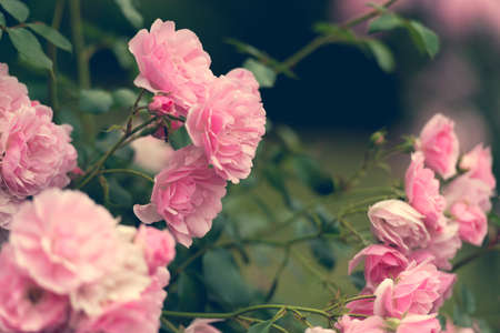 roses garden: pink roses in the garden. soft focus