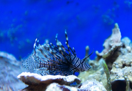 exoticism saltwater fish: sea urchin in aquarium saltwater world Stock Photo