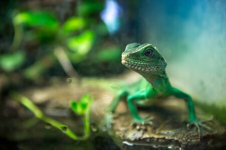 lizard: Green lizard with a long tail standing on a piece of wood Stock Photo